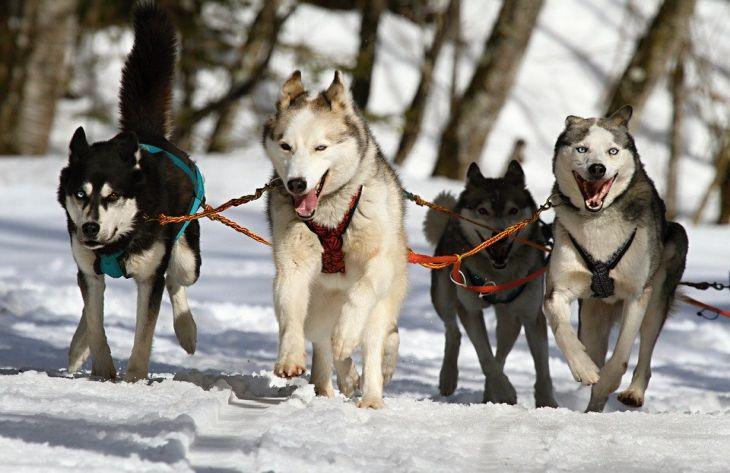 собаки, лайки, хаски, зима, упряжка