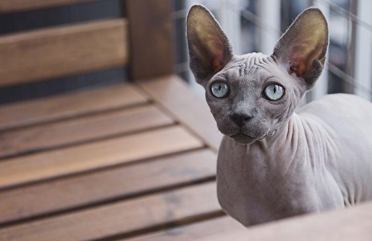 кошка, сфинкс