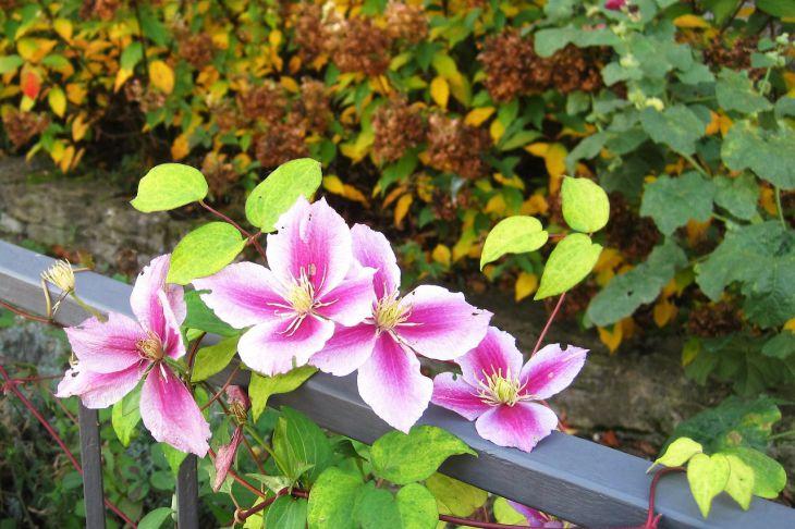 Многолетние вьющиеся растения: как превратить участок в сказочное место
