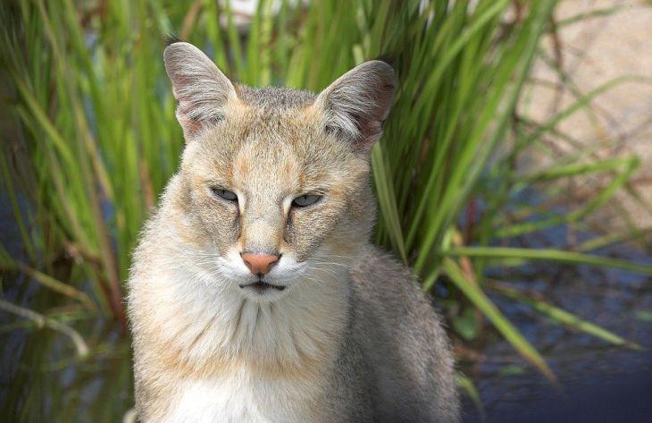 камышовый кот, природа