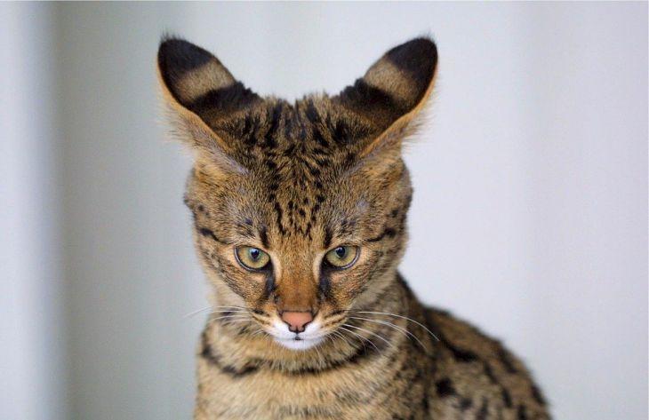 кошка, саванна
